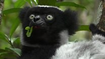 Why buying a sapphire could kill this lemur