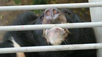 VN sẽ chấm dứt tình trạng nuôi gấu lấy mật