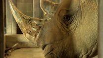 تلاش برای جلوگیری از انقراض کرگدن جنوبی با کمک خویشاوندان شمالی