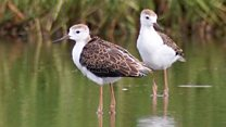 Record breeding year for wading birds
