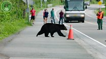 Bears using a bear crossing