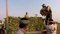 په هند کې د تنباکو پر کروندګرو د اقتصادي فشار لامل