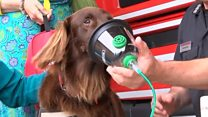 Dog tries oxygen mask for animals in fires