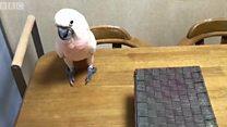 นกกระตั้วเลยสอนบทเรียนเพื่อนใหม่ที่ไม่เป็นมิตร
