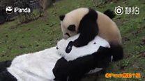 Как маленьких панд отправляют в большой мир