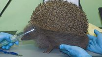 'Beach ball-sized' hedgehog rescued