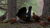 Scottish capercaillie numbers decline
