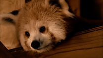 Endangered red panda moves to new home