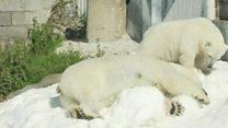 Laplandiya zooparkında qütb ayıları qar hədiyyəsindən zövq alır