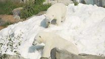 Ведмеді в Лапландії радіють подарованому снігу
