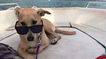 'ชาปาตี' สุนัขนักเดินทาง