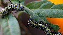 راز دانش: چرا کرمهای پیله ساز به جای خوردن گیاهان، همدیگر را میخورند؟