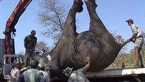 La enorme tarea de trasladar elefantes para salvarlos de la caza furtiva