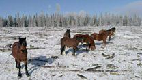 Kanada'nın vahşi atlarına doğum kontrolü