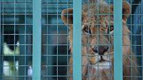 هجرة الأسود والنمور والدببة من سوريا