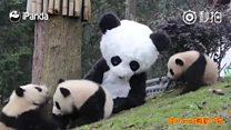 Melhor trabalho do mundo? Tratador se fantasia de panda para virar 'babá' de filhotes