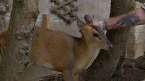 Muntjac deer uses dog flap
