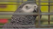 Wolf-whistling parrot ruffles feathers