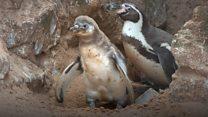 Fluffy penguin sex revealed