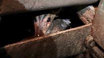 Deer released after water wheel ordeal