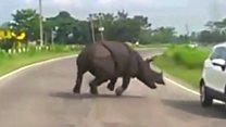 وحيد قرن يهاجم سائقين ويجبرهم على الفرار