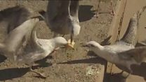 Council considers £100 fine for feeding seagulls
