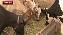 पाकिस्तान में जहां गाय को मानते हैं 'पवित्र'