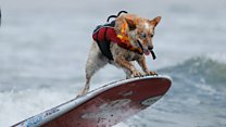 Surf dogs hit the waves in California