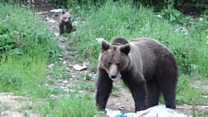 Hungry bears invade Romanian town