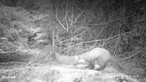 First Pine Marten in 24 years spotted in North Yorkshire