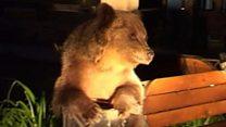 Ведмеді лякають жителів Румунії
