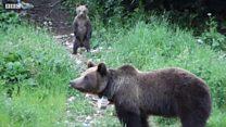 Как бурые медведи захватили Румынию