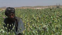 افغانستان: د کوکنارو کرکيله کې ډېروالی راغلی
