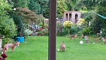 Foxes team up for garden games
