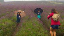 Lavender farm gets Asian tourist influx