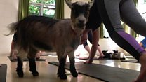 Goat yoga comes to Hampshire