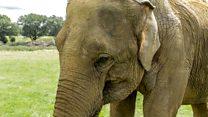 Elephant gets a pedicure