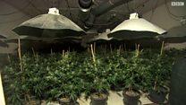 عصابة تحول ملجأ حرب إلى مزرعة لنبتة القنب المخدرة