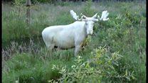 希少な白いヘラジカ スウェーデン西部で撮影