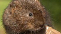 Victory for the Water voles as thousands return to Hampshire