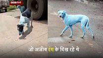 कभी आपने कभी नीला कुत्ता देखा है?