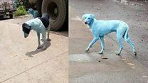 Por que estão aparecendo cachorros vira-lata azuis em Mumbai, na Índia?