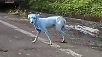 Как в Индии появились голубые собаки