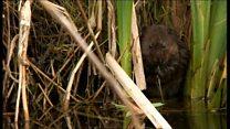 Flood work to help endangered vole