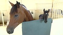 أوروبا تستأنف استيراد الخيول العربية الأصيلة من مصر