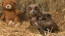 Owl's legs in splints due to rare disorder