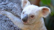 Rare white koala joey on show