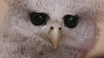 Has Harry Potter cursed Indonesia's owls?