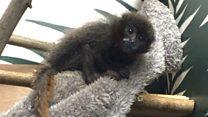 Meet Pichiku the baby titi monkey