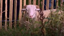 Watch: Sheep shipped in to graze in Green Park